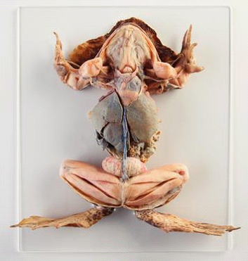 grenouille plastinée antidote europe enseigner sans animaux dissection